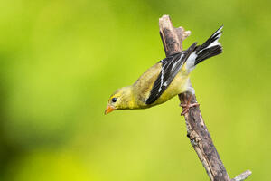 american-goldfinch-go-birding