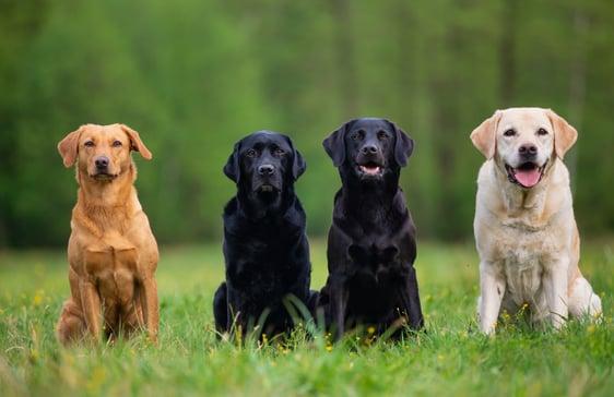 four-labrador-retriever-dogs-XEBL92V